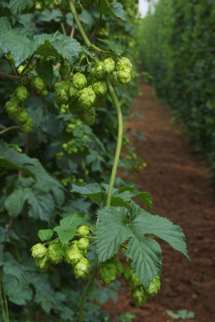 hops vertical